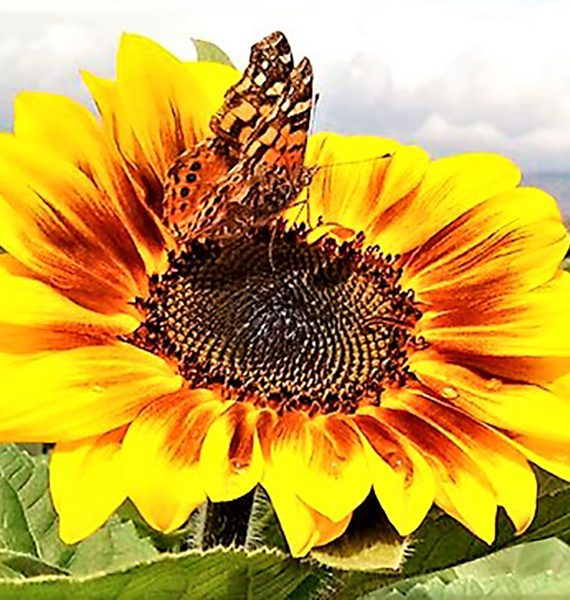 andean sunflowers esperanza flowers